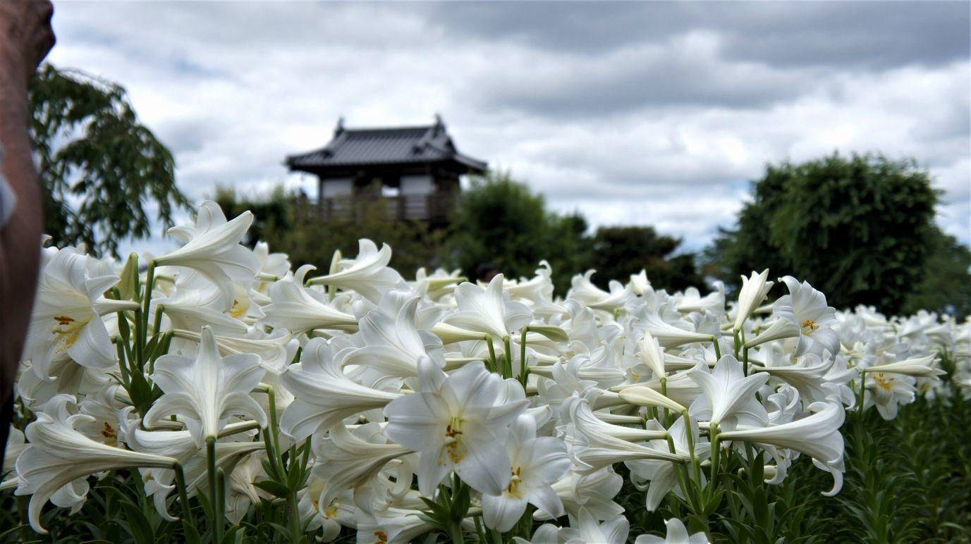 ①池田城と満開のユリ