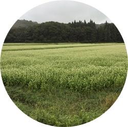 17 広大なそば畑