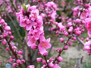 15 多賀神社の桃花