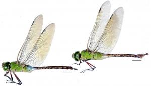 25 蜻蛉