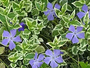 青い花DSC_0374