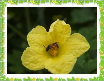 9 26 ゴーヤの花に訪問者
