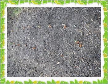 9 26 ニンニク芽が伸びた