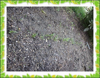 9 26 ほうれん草ほぼ発芽