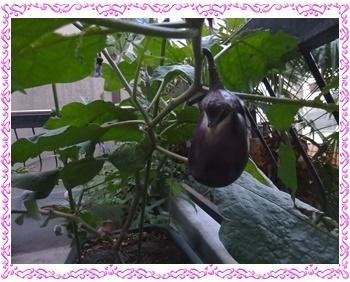 葉は減っても頑張っている水茄子