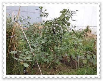茄子は大木になった