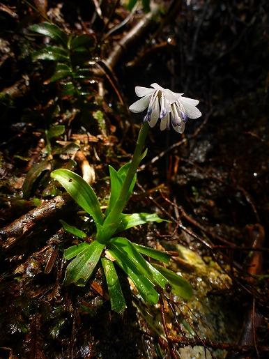 4月9日 ツクシショウジョウバカマの花