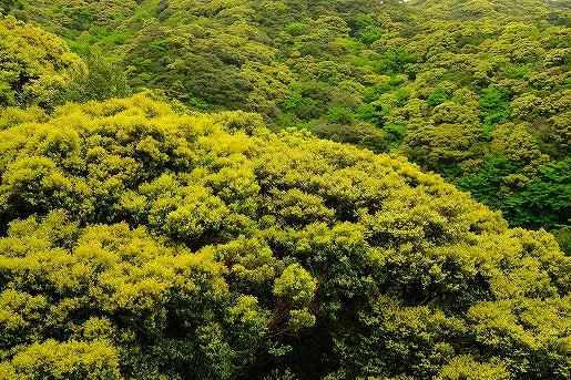 4月4日 常緑樹の新緑