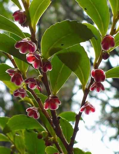4月9日 ヒメヒサカキの花