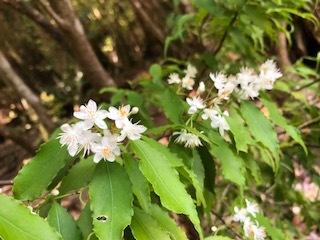 5月4日 ハイノキの花
