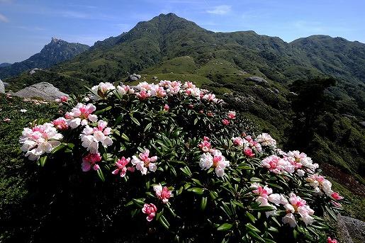 5月15日 平石岩屋よりヤクシマシャクナゲと宮之浦岳