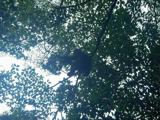 9月18日ヤマボウシの実を食べるヤクザル