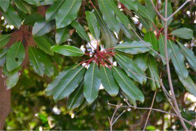 茎が赤いユズリハの葉