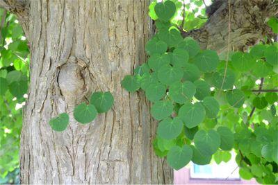 カツラの樹木とハート型の葉