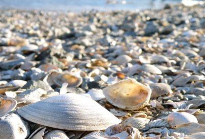 生麦の海岸で貝のじゅうたん