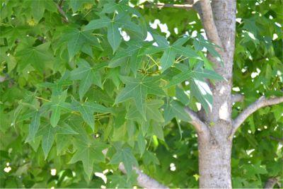 モミジバフウの葉っぱ