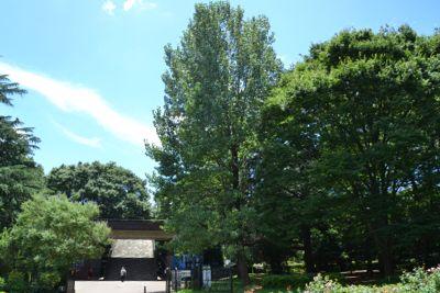 カロリナポプラの木