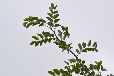 ニセアカシアの丸い葉
