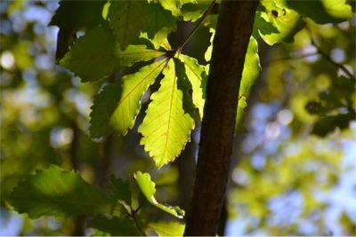 紡すい形をしたコナラの葉