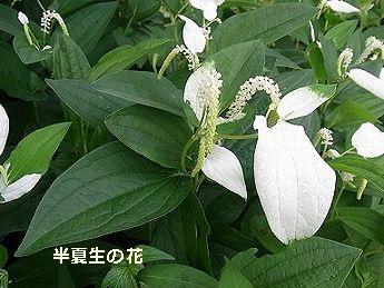 半夏生の花