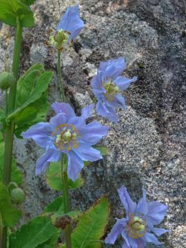 2018年6月1日 六甲高山植物園ヒマラヤの青いケシ