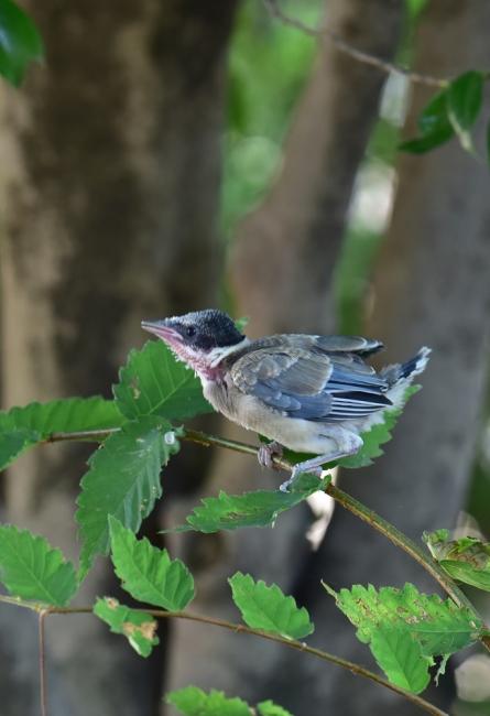 13771-オナガ幼鳥-1