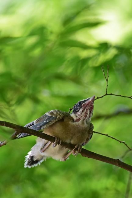 13772-オナガ幼鳥-2