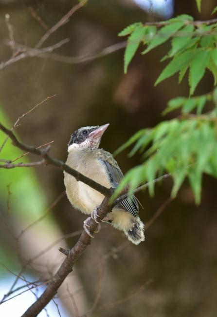 13773-オナガ幼鳥-3