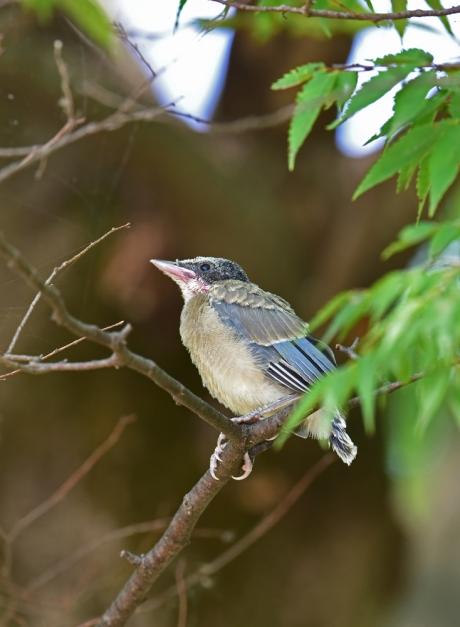 13774-オナガ幼鳥-4