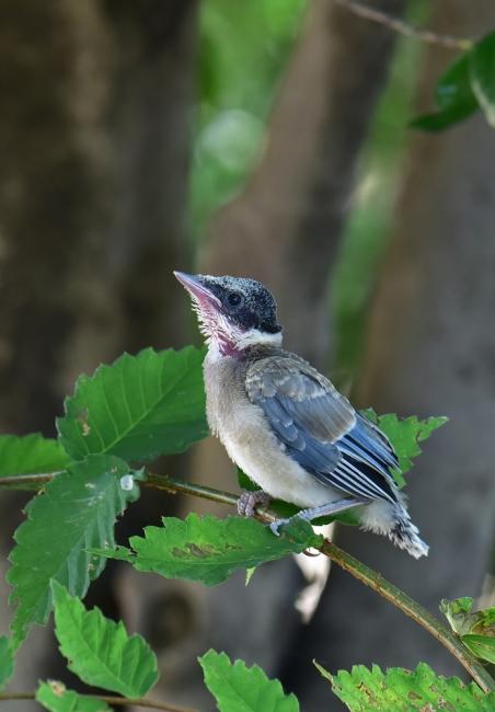 13775-オナガ幼鳥-5