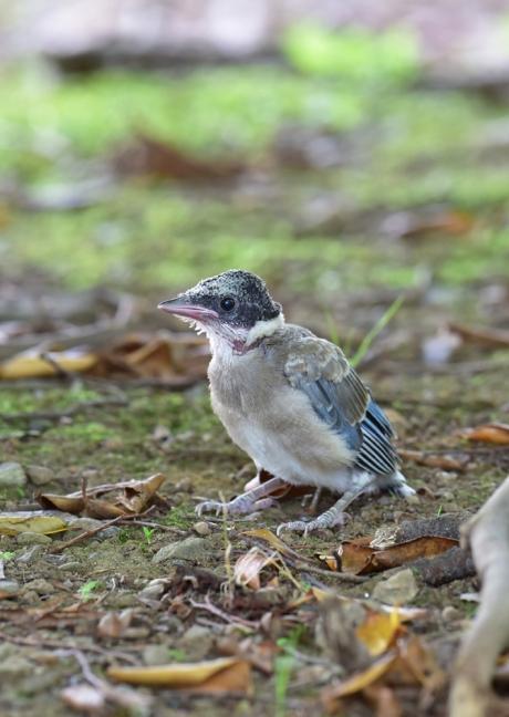 13776-オナガ幼鳥-1