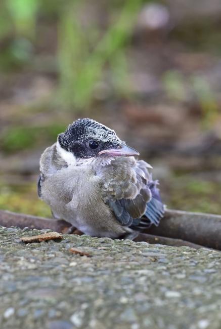 13778-オナガ幼鳥-3