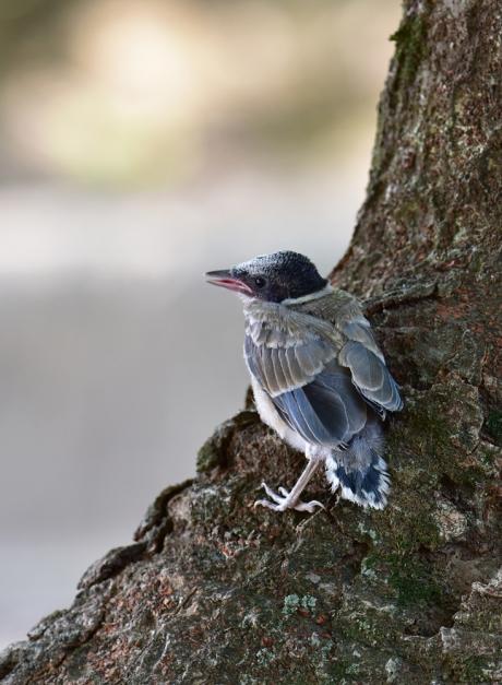 13779-オナガ幼鳥-4