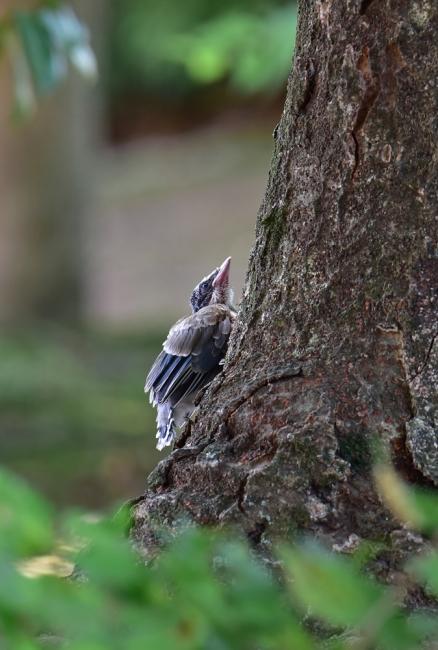 13780-オナガ幼鳥-5
