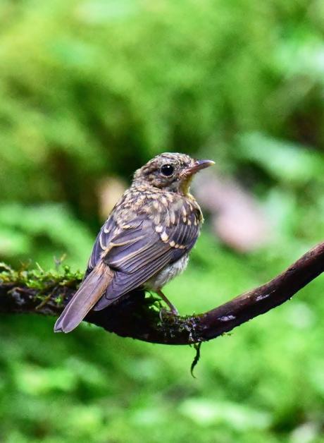 14066-キビタキ幼鳥-1
