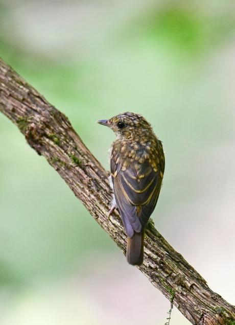 14067-キビタキ幼鳥-2