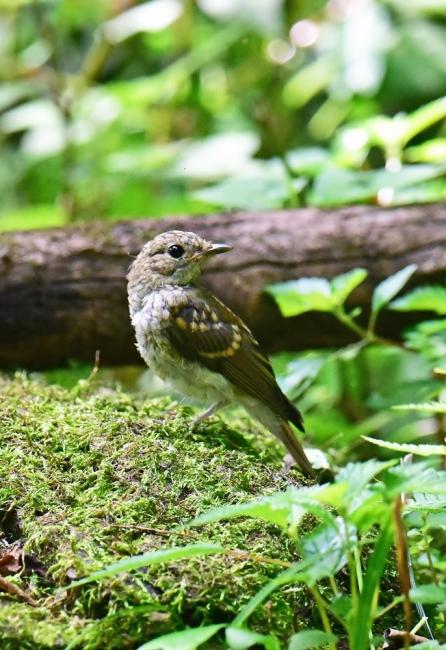 14068-キビタキ幼鳥-3