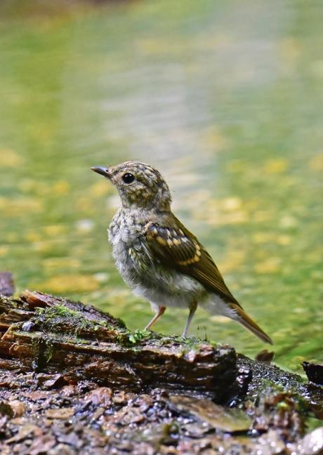 14069-キビタキ幼鳥-4