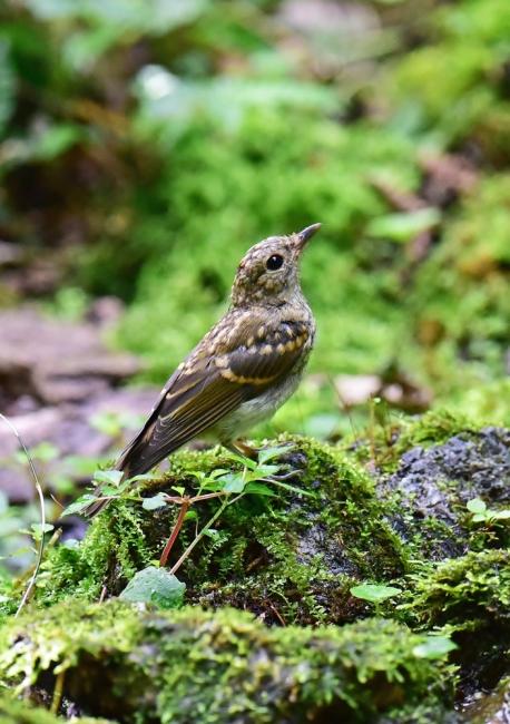 14070-キビタキ幼鳥-5