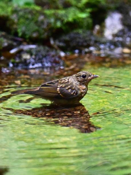 14071-キビタキ幼鳥-1