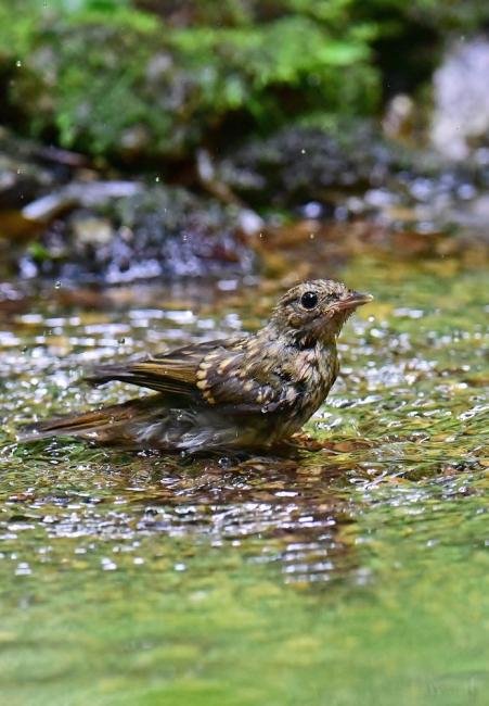 14073-キビタキ幼鳥-3