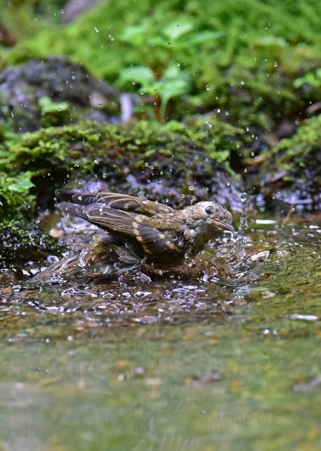 14075-キビタキ幼鳥-5