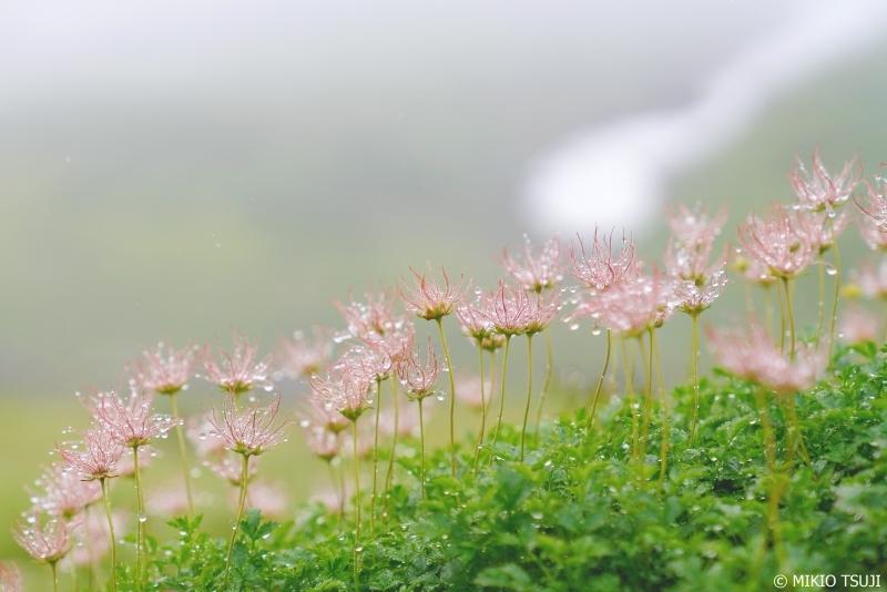 絶景探しの旅 - 0681 雨に濡れる立山の可憐な赤い風車 チングルマ (立山室堂/富山県 立山町)