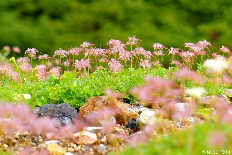 絶景探しの旅 - 0682 雨上がりの立山室堂のチングルマ (富山県 立山町)